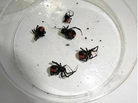 捕獲したセアカゴケグモ