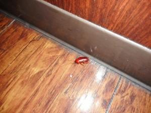 トイレ付近クロゴキブリの生息確認