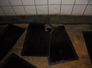 集中捕鼠実施。ドブネズミの幼獣1頭捕獲