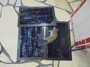売り場集中捕鼠、ドブネズミの成獣1頭捕獲