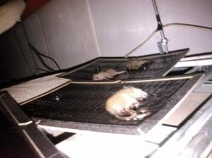 精肉厨房天井部粘着トラップクマネズミの幼獣3頭捕獲