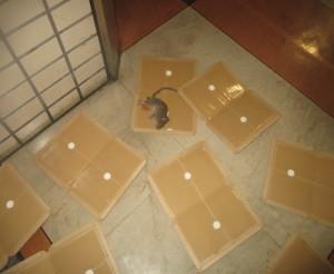 売り場集中捕鼠を実施ドブネズミの成獣1頭捕獲
