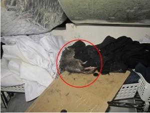 更衣室ダクトの上にドブネズミ