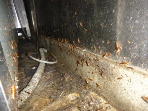冷蔵庫裏にチャバネゴキブリ生息
