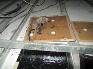天井裏に設置の粘着トラップにてクマネズミ一頭捕獲3