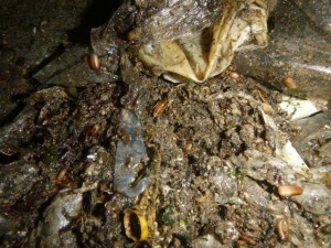 冷蔵庫下部のゴミ堆積部にチャバネゴキブリの生息確認