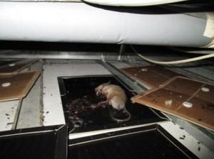 天井裏の粘着トラップにクマネズミ1頭捕獲