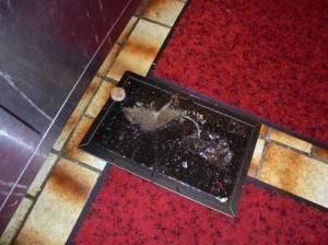 ドブネズミの成獣捕獲