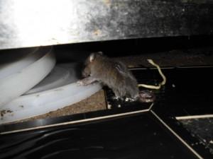 1F厨房ドブネズミ1頭捕獲