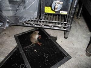 B1F食器倉庫 棚下の常設トラップにてドブネズミ捕獲