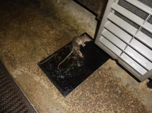 厨房機器下部の粘着トラップにドブネズミ1頭捕獲