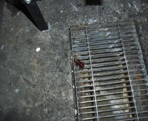 厨房 クロゴキブリの生息が認められました