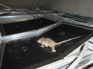 1Fレジ前天井裏に設置の粘着トラップにてクマネズミ捕獲