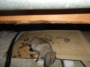 厨房天井裏クマネズミ1頭捕獲2