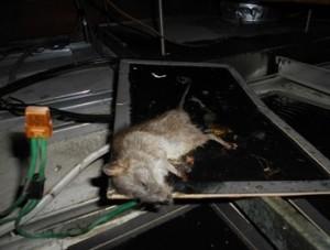 厨房天井裏クマネズミ1頭捕獲