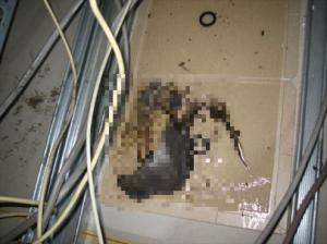 ホール天井裏クマネズミ成獣2匹①