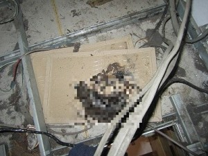 ホール天井裏ドブネズミ成獣1匹①